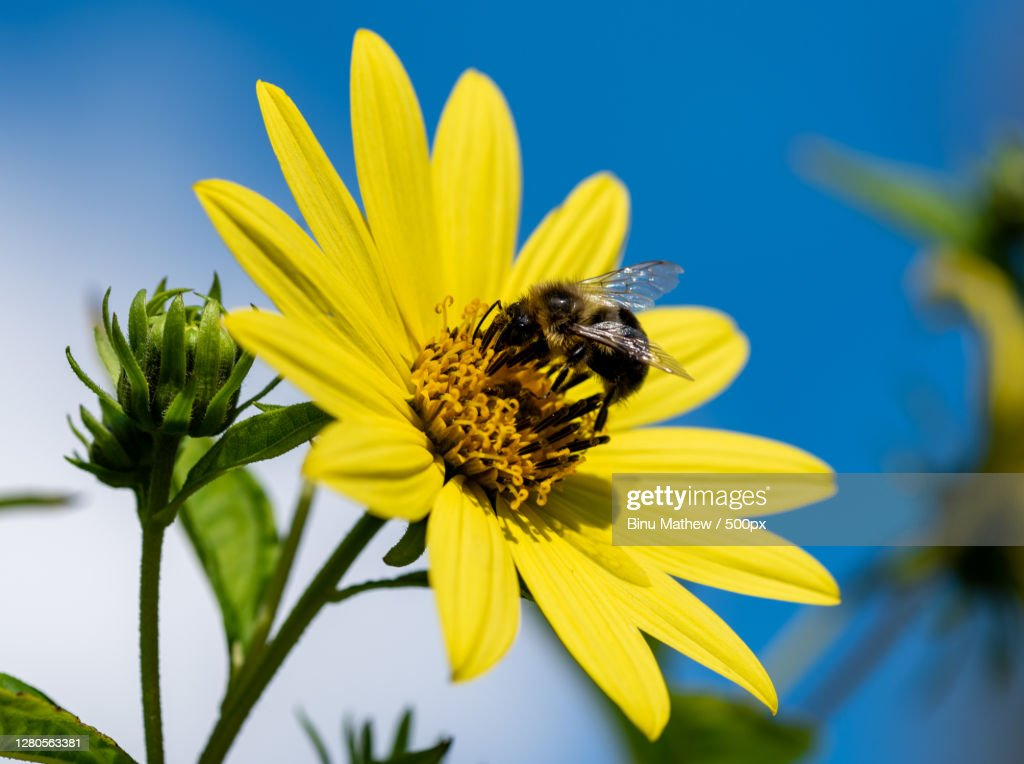 Close-up of bee pollinating on yellow flower : Stock Photo