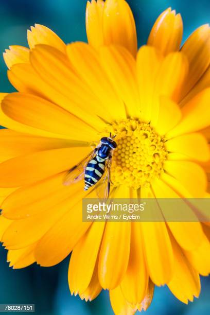close-up of bee pollinating on yellow flower - andre wilms eyeem stock-fotos und bilder