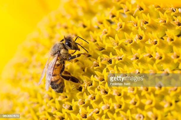 close-up of bee pollinating sunflower, tuscany, italy - biene stock-fotos und bilder