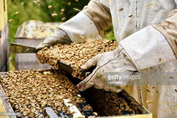 close-up of beekeeper with honey frames out of beehive - beehive new zealand stock pictures, royalty-free photos & images