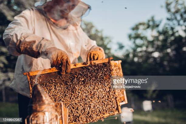 close-up of beekeeper with honey frames - beehive new zealand stock pictures, royalty-free photos & images