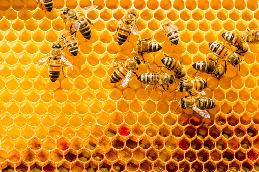 closeup of bees on honeycomb in apiary 531311994