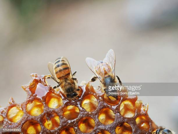 close-up of bees on honeycomb. - honey bee stock pictures, royalty-free photos & images