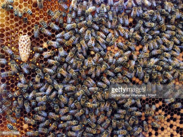 close-up of bees on honeycomb - queen bee stock pictures, royalty-free photos & images