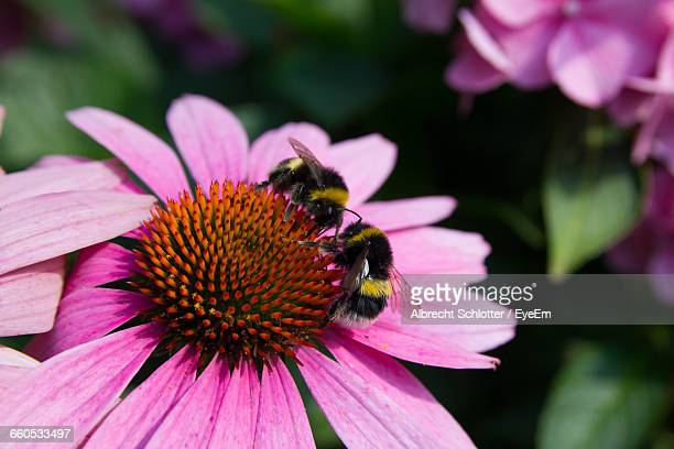 close-up of bees on purple flower - albrecht schlotter stock photos and pictures