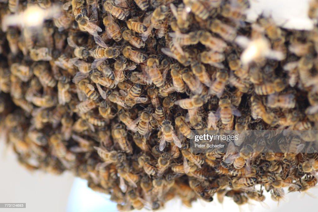 Close-Up Of Bees : Photo