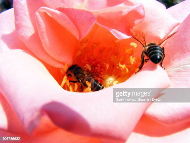 Close-Up Of Bees Pollinating On Flower