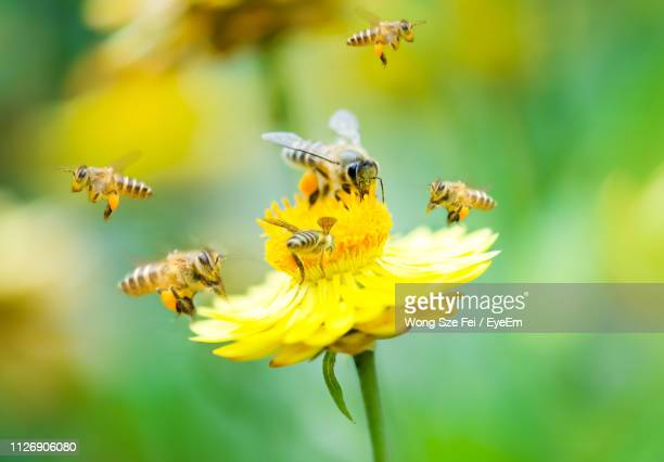 close-up of bees pollinating on yellow flower - ape foto e immagini stock