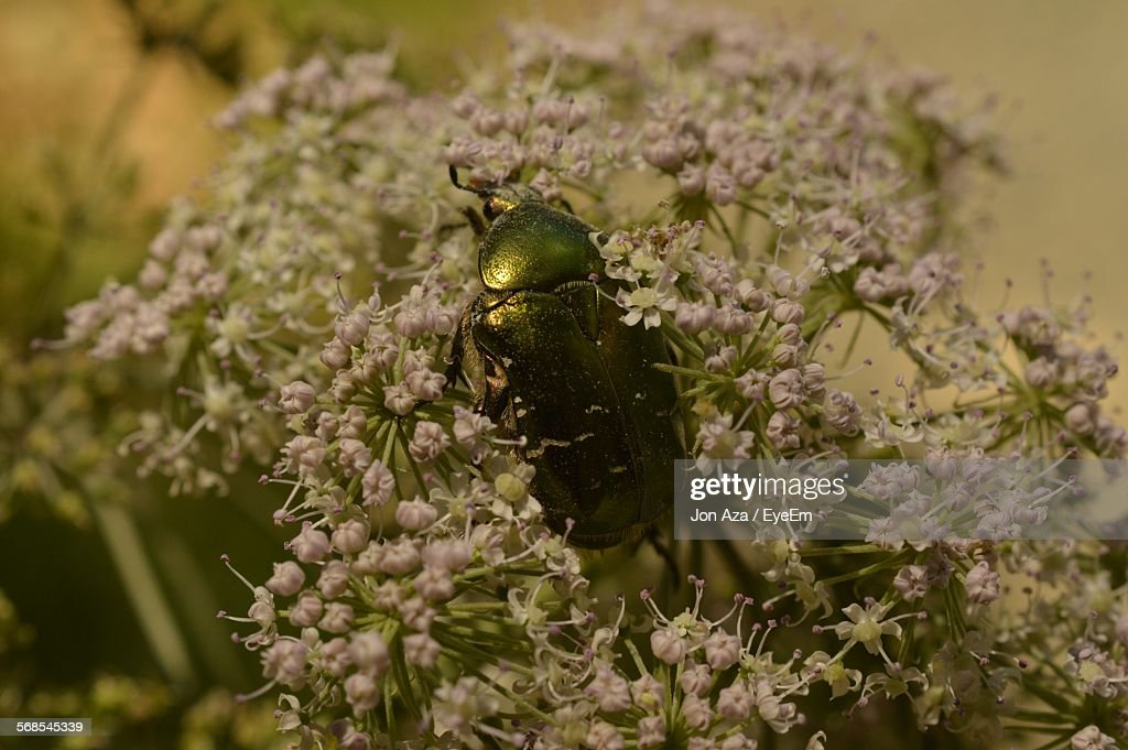 Close-Up Of Beetle On Flowers At Park : Stock Photo
