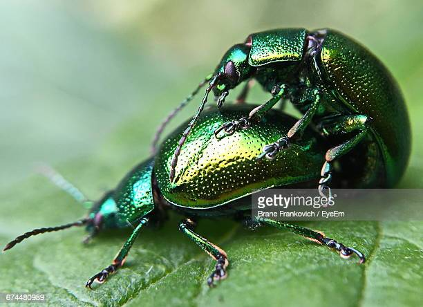 close-up of beetles mating on leaf - begattung kopulation paarung stock-fotos und bilder