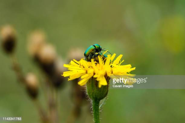 close-up of beetles mating on yellow flower - begattung kopulation paarung stock-fotos und bilder