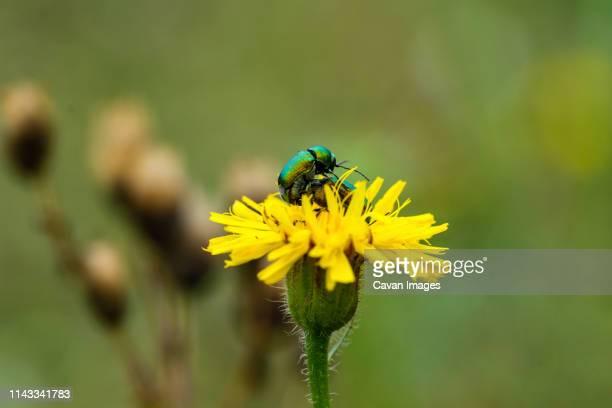 close-up of beetles mating on yellow flower - tierpaarung stock-fotos und bilder