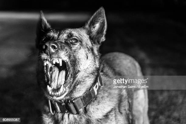 close-up of belgian malinois - belgian malinois stock photos and pictures