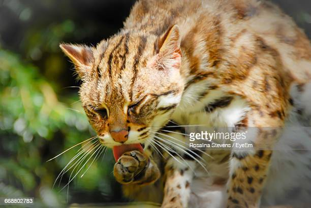 close-up of bengal cat licking paw - bengal cat stock pictures, royalty-free photos & images
