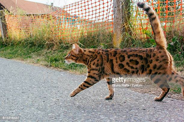 Close-Up Of Bengal Cat On Road Against Fence