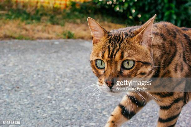 Close-Up Of Bengal Cat On Road