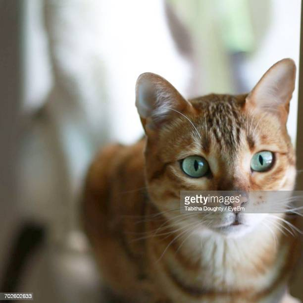 close-up of bengal cat - bengal cat stock pictures, royalty-free photos & images