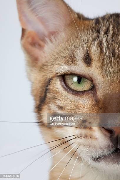 Close-up of Bengal Cat's Face