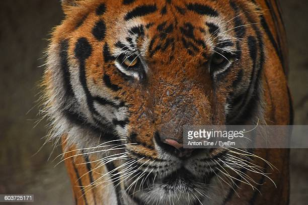 Close-Up Of Bengal Tiger In Zoo