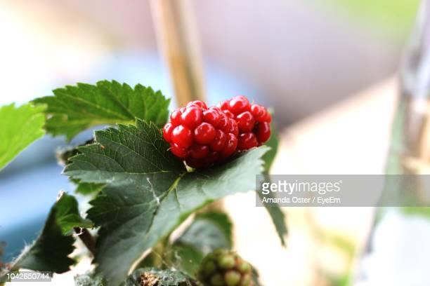 close-up of berries growing on plant - amanda and amanda stock pictures, royalty-free photos & images