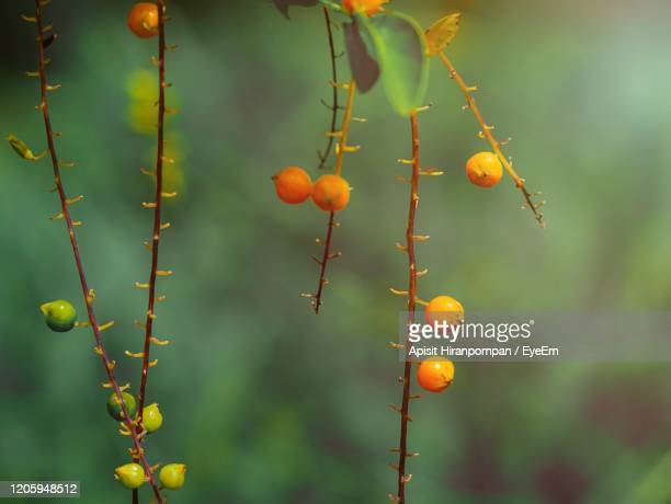 close-up of berries growing on plant - apisit hiranpornpan stock pictures, royalty-free photos & images