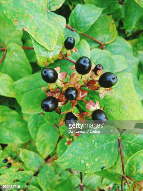 close-up of berries growing on plant - king's lynn stock pictures, royalty-free photos & images