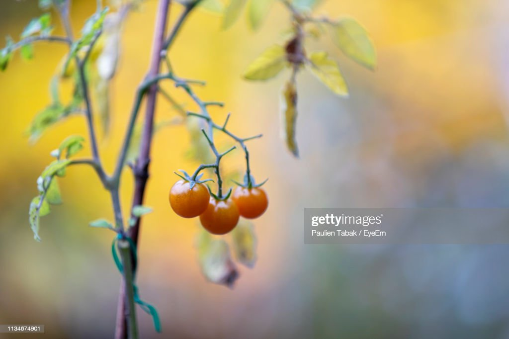 Close-Up Of Berries Growing On Tree : Stockfoto