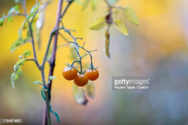 close-up of berries growing on tree - paulien tabak 個照片及圖片檔