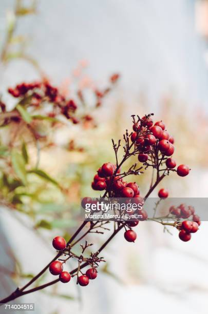 Close-Up Of Berries On Tree Against Sky