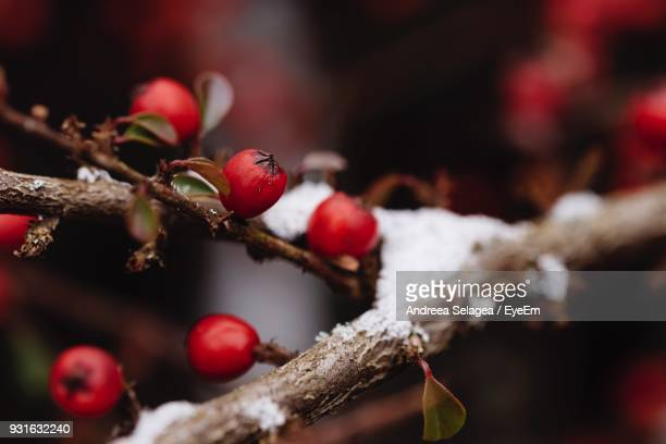 Close-Up Of Berries On Tree During Winter
