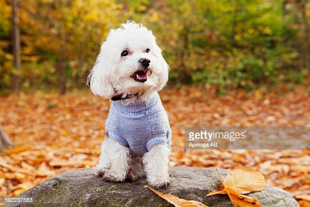 Close-up of Bichon Frise on rock in forest