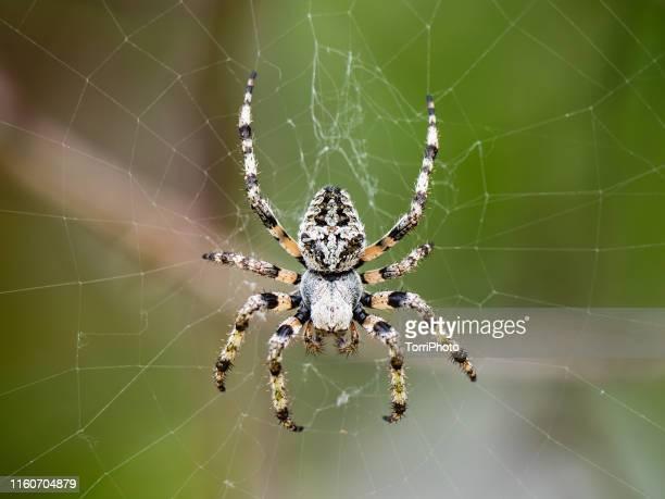 closeup of big gray spider with horns on web - aranha imagens e fotografias de stock