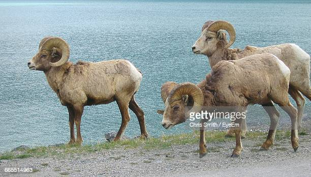 close-up of big horn sheep - canadian rockies stockfoto's en -beelden