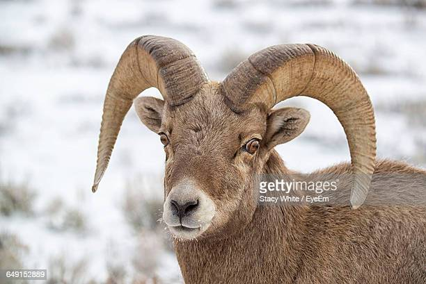Close-Up Of Bighorn Sheep On Field During Winter