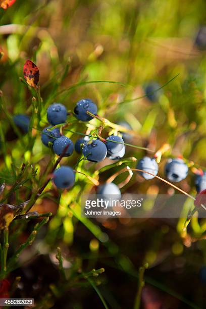 Close-up of bilberries