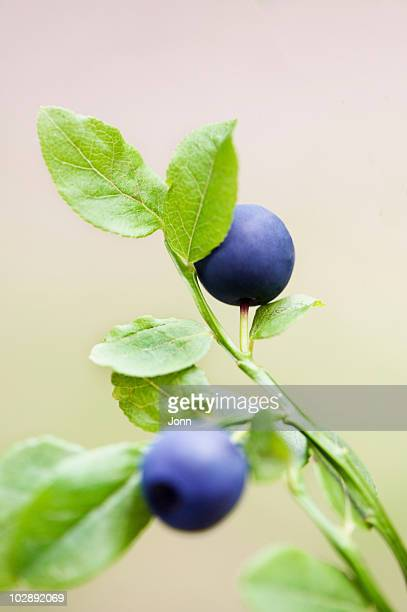Close-up of bilberry fruits
