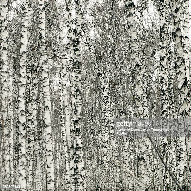 Close-Up Of Birch Trees In Forest