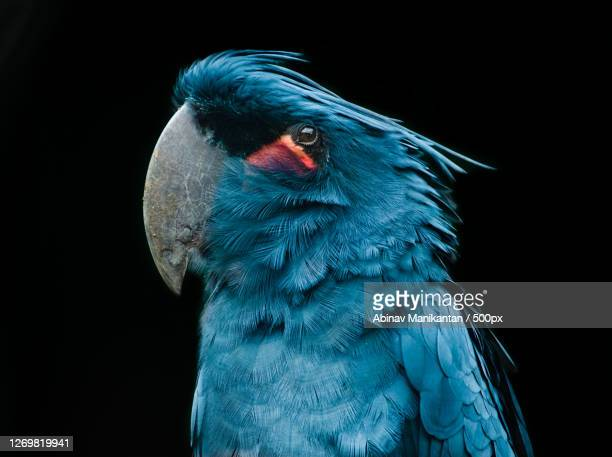 close-up of bird against black background, belfast, united kingdom - animal stock pictures, royalty-free photos & images