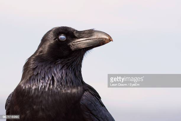 close-up of bird against sky - crow bird stock photos and pictures