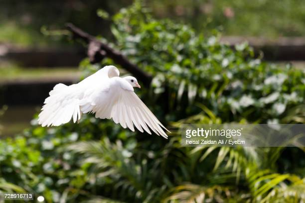 close-up of bird flying against trees - dove bird stock photos and pictures