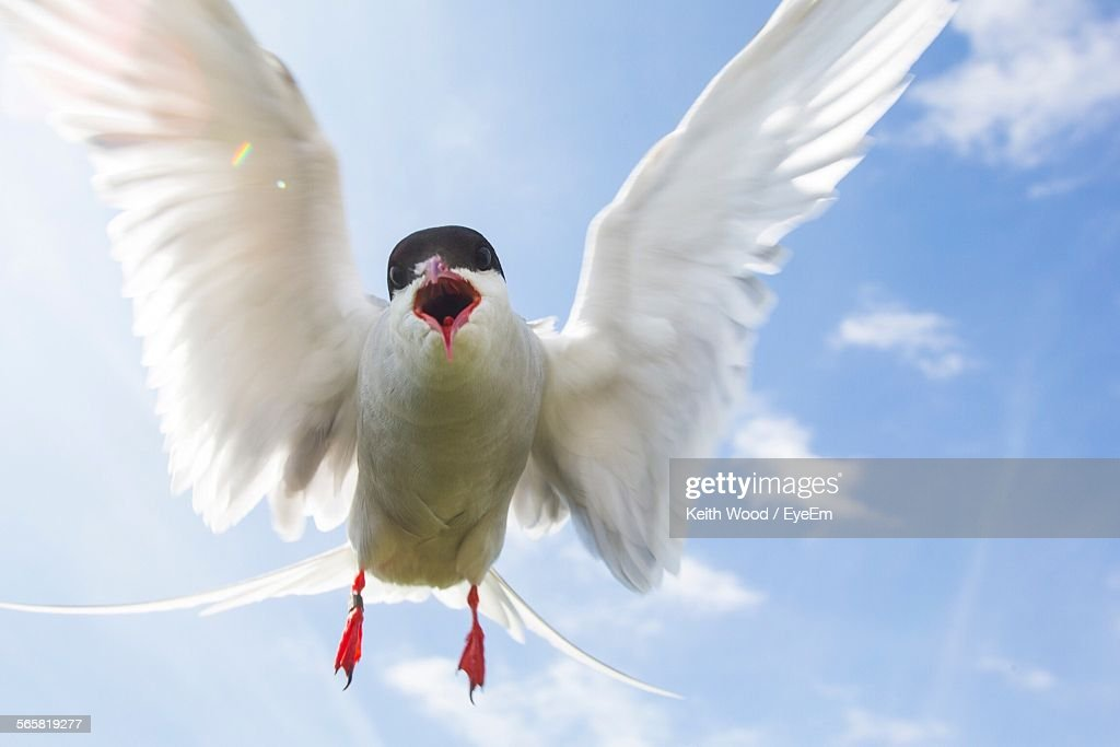 closeup of bird flying in sky ストックフォト getty images
