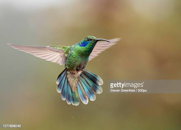 close-up of bird flying outdoors, barranco, panama - animal stock pictures, royalty-free photos & images