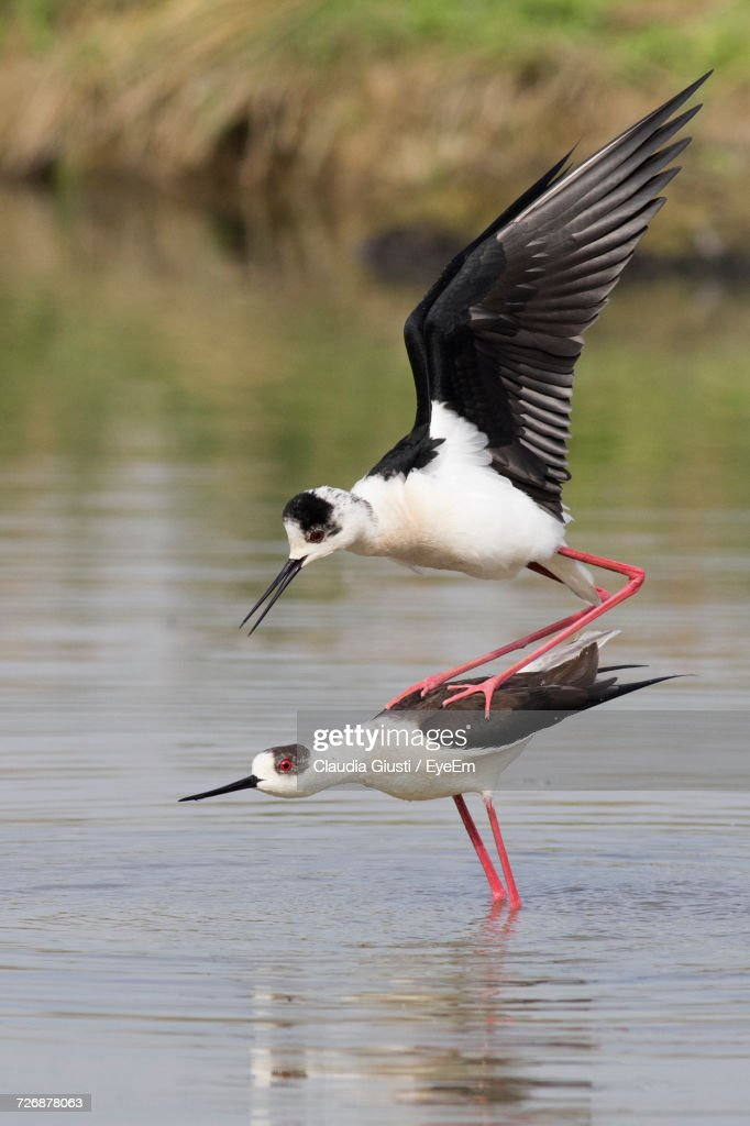 Close-Up Of Bird Flying Over Lake : Foto stock