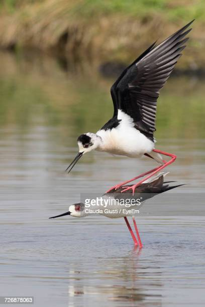 close-up of bird flying over lake - giusti claudia stock pictures, royalty-free photos & images