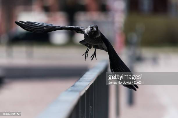 close-up of bird flying over railing - crow stock pictures, royalty-free photos & images