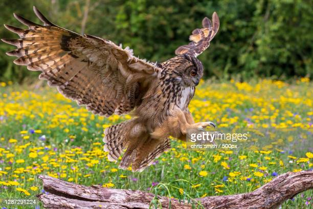 close-up of bird flying over tree trunk - eurasian eagle owl stock pictures, royalty-free photos & images
