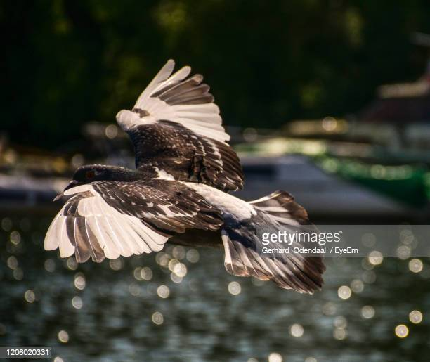 close-up of bird flying over water - eagles london stock pictures, royalty-free photos & images