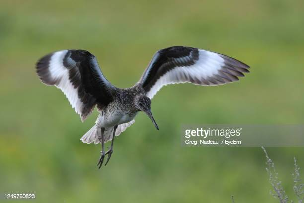 close-up of bird flying - greg nadeau stock pictures, royalty-free photos & images