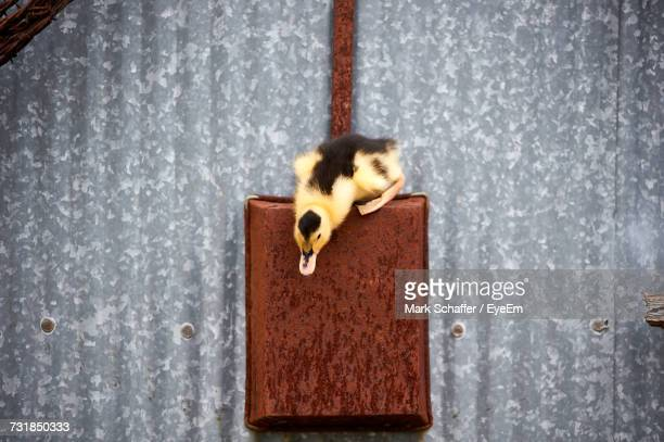 close-up of bird hanging on wall - day old chicks stock photos and pictures