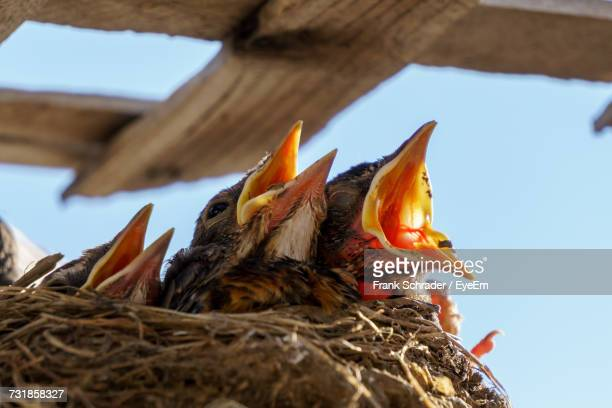close-up of bird in nest - frank schrader stock pictures, royalty-free photos & images